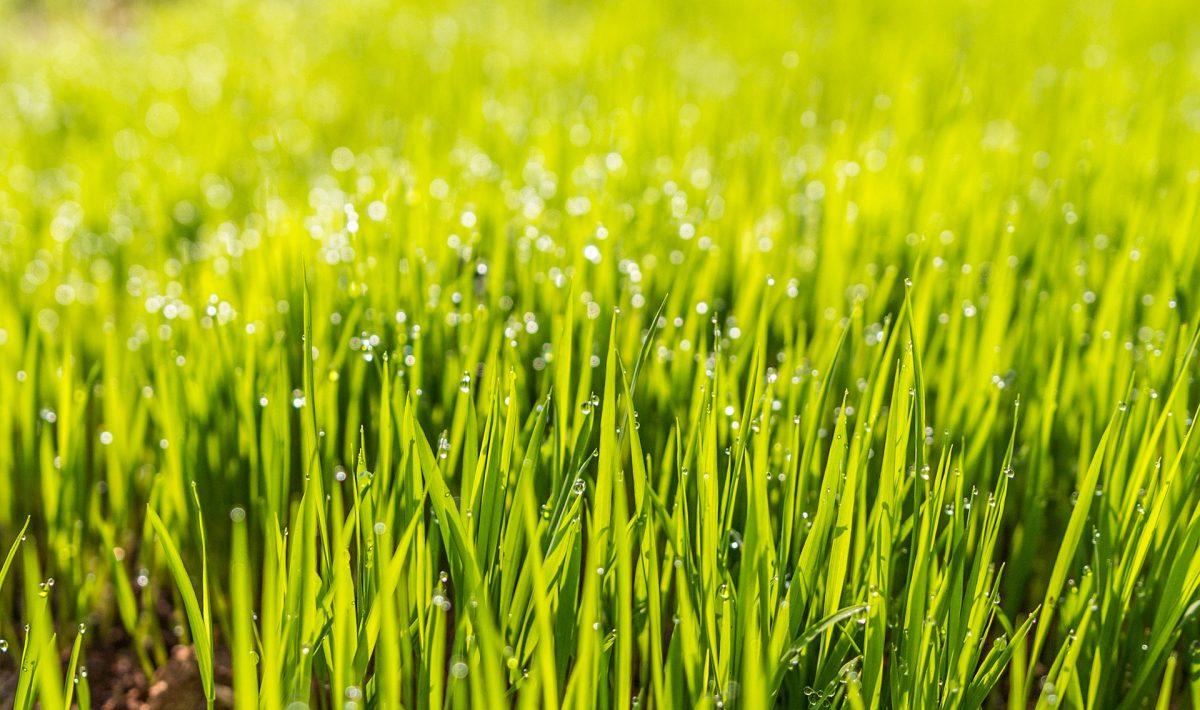 Tips bij het uitzoeken van graszoden